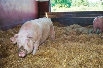 Hel gris til salg